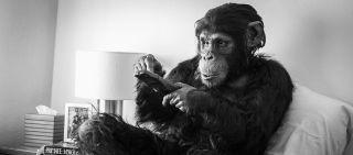 Şempanzeler İçin Sinema: Maymunların Aile Yaşamı